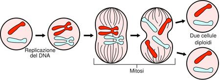 Scienze:Divisione cellulare